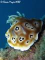 Leopard Nudi Chromodoris leopardus...........Canon G9 Inon UCL165 macro lens leopardus)....¸><((((º>`·.¸.·´¯`·...¸><((((º>`·..Canon leopardus)¸><((((º>`·¸·´¯`·¸><((((º>`·Canon leopardus) ¸><((((º>`· ·´¯`· Canon UCL-165 UCL 165
