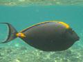 Orange Spine Surgeon Fish