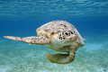 This curious green turtle came have closer look my domeport