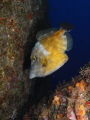 White Spotted Filefish Cantherhines macrocerusDiving off working oil rig.....Texas Flower Gardens Gulf Mexico 08 rig..... rig