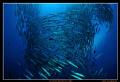 Barracuda Vortex Sipadan Islands famous PointNikon D300 Tokina 1017 FisheyeMDXD300 2x YS110 Strobes 10-17 10 17 MDX-D300, MDXD300, MDX D300, YS-110 YS 110
