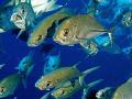 Bigeye trevally circle one most exhillirating fish sea. Taken Sudan Olympus E330 sea