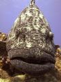 Potato Cod famous Hole dive site