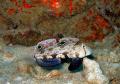 Ce beau gobi oeil de crabe pavanait devant nous. nous