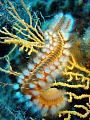 Fireworm taken Korcula island cca 25m. Resting gorgonian where feeds. Olympus SP350 macro mode no strobe manual setting ISO200 150s f4.5 25m feeds 1/50s, 150s, 50s, f/4.5 f/45 f/4 4.5