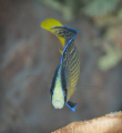 Splendid dottyback Pseudochromis splendens are common Indonesia very photogenic. photogenic