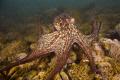 "octopus vulgarismucchiola Ortona mare ch 450D 1855 canon vulgaris""(mucchiola- vulgaris""(mucchiola mare- 18-55 18 55"