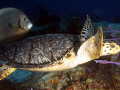 Turtle favorite partner Gray Angelfish