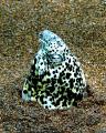 yellowspotted snake eelhaloa pointmaui