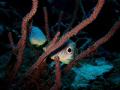 Foureye Butterfly fish Four-eye Four eye