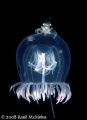 Free RideA small crab hitches ride Red eye Medusa Jellyfish. Port Hardy B.C. Canada Jellyfish BC