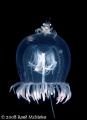 Free RideA small crab hitches ride Red eye Medusa Jellyfish. Port Hardy B.C. Canada Jellyfish BC