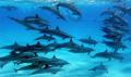 Dolfins South Aegyptian Red Sea. Ambient lightSHOOT SKINDIVING UW SEALIFE DC800 DIGITAL CAMERA Sea U/W DC-800 DC 800