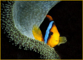 discovered this colorful cooperative clownfish while diving Bilikiki Solomon Islands several years ago. ago