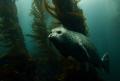 Kelp Forest Glider.A Harbor Seal drifts Anacapa Island. Image taken Canon Digital Rebel Ikelite housing 1022mm zoom lens. Shot f4.5 160 second. Glider. Glider Island w/ 10-22mm 10 22mm lens f/4.5 f/45 f/4 4.5 1/60 60 second