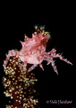 Dancing Queen Soft Coral Crab just me No Cropping