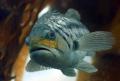 Anglers DreamA Calico Kelp Bass. prized tasty game fish forest Anacapa Island. Image taken Canon Digital Rebel 60mm f2.8 lens Ikelite housing. Shot f3.2 180 second. Bass Island f/2.8 f/28 f/2 2.8 housing f/3.2 f/32 f/3 3.2 1/80 80 second