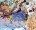 Spendid Toadfish indeginous Cozumel