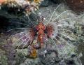 Spotfin Lionfish Pterois antennata Magic Pasage near Madang Papua New Guinea. Guinea