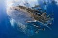 Whaleshark visit Gulf Thailand