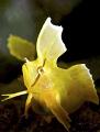 Golden Weedfish Cristiceps aurantiacus.Taken Shelly Beach Sydney Australia. Using Nikon D300 sea housing dual ys250s. f8 1250s aurantiacus). aurantiacus) Australia ys250s f/8 1/250s 250s