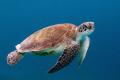 Turtle taken Bonaire Nikon D300 sea housing two YS110 strobes using 1735 2.8 lens 17-35 17 35 28