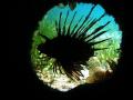 Lionfish hiding empty trree trunk Curieuse Marine Park Seychelles Canon G9 Ikeltite housing