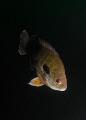 Bluegill Perch Lepomis macrochirus Clear Springs Scuba Park Texas 2009 SeaSea DX1G Exposure 0.001 sec 11000 Aperture f5.1 0001 001 (1/1000) (11000) (1 1000) f/5.1 f/51 f/5 5.1