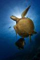 Hawksbill turtle batfish. Sipadan Island South point batfish Island/