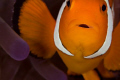 clownfish closeup 100mm macro lens 2x tc