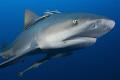 Zambezi shark taken Pinnacles Mozambique. Mozambique
