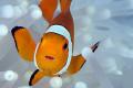 clownfish closeup Canon 450D 100mm Macro Kenko 2x TC