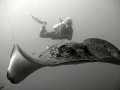 Marble Ray Diver Yongala wreck Queensland