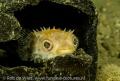 Juvenile Porcupine fish hiding coconut. Phote taken 60 macro lense. coconut lense
