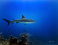 Reef shark taken Danger Bahamas Canon 40D 1785 zoom lens Ikelite housing. natural lighting. 17-85 17 85 housing lighting
