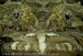 Crocodile fish seagrass. seagrass