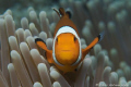 Nemo...Just crazy little clown fish enjoyed showing off Nemo... Nemo
