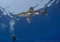 Oceanic whitetip shark. Elpinstone reef. D316mm. shark reef D3,16mm. D3,16mm