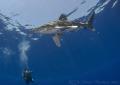 Oceanic whitetip shark. Elpinstone reef. D316mm. shark reef D3,16mm. D3,16mm