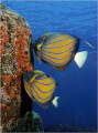 sure most beautiful angel fish Pommacanthus annularis. Shot Similan Islands. annularis Islands