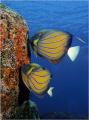 sure most beautiful angel fish Pommacanthus annularis. Shot Similan Islands. annularis Islands