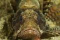 Shortfin Scoprionfish slope Wakatobi Indonesia. 60 marco lense Fuju S2 pro. Indonesia pro