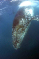 Humpback whale taken off Port St Johns during this years sardine run. Note barnacles growing its head run