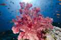 Wonderfull softcoral taken Jackson reef Tiran. Tiran