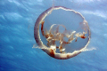Moon jelly drifting just below surface warm Caribbean water full frame first trip new EOS50D