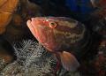 Nassau Grouper Epinephelus striatus Roatan Honduras 0809 Sea DX1G 08-09 08 09