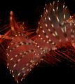 Lion fish dorsal. dorsal