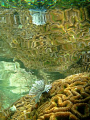 Reflection white tube worm coral Wasrer Reef Raja Ampat
