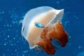 Mosaic Jellyfish driftfish coral sea. Nikon D300 Sea housing. housing