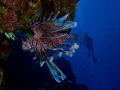 Invasive Lion Fish San Salvador Island Bahamas.Olympus E520 camera twin Inon strobes. actually swim upside down underside reefs overhangs. No photoshop color corrections. Bahamas. Bahamas strobes overhangs corrections